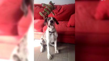 Deze Deense dog is heel slecht in dingen vangen (maar gelukkig is hij schattig)