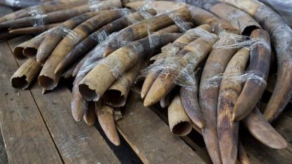 Geen straf, wel straffe cijfers: Belgen brachten al 270 kilo illegaal ivoor binnen bij dierentuinen en FOD Volksgezondheid