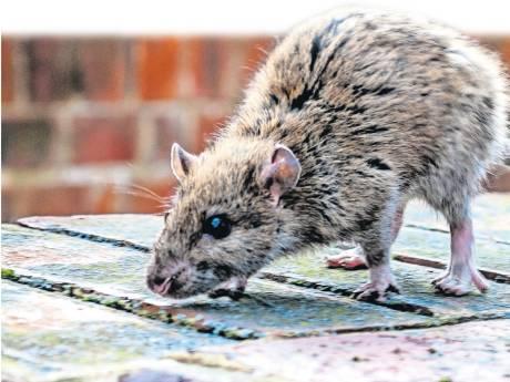 Rat rukt op in de regio en het wordt de komende jaren nóg erger