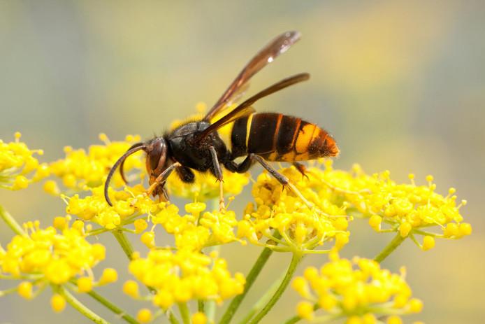 """La """"vespa velutina"""", une espèce de frelon asiatique, commence à s'installer en Belgique."""