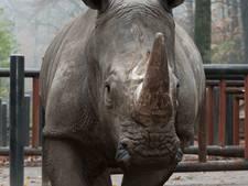 Neushoornbaby op komst in Burgers' Zoo