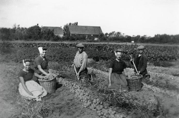 Aardappelen rooien in de omgeving van Sint Jan ten Heere, circa 1935, ZB/Beeldbank Zeeland, recordnr. 12979.