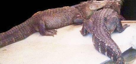 Tot 3 jaar cel geëist tegen krokodillenbende