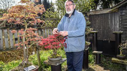 """André Callaert ziet drie favoriete bonsais gestolen worden: """"Grootste bezorgdheid is dat ze in slechte handen zijn"""""""