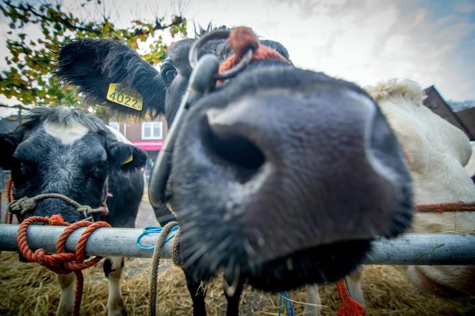Archieffoto: Een nieuwsgierige koe tijdens Leste Mert