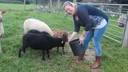 Vanaf oktober kan u deze schaapjes (en andere dieren) een bezoekje brengen