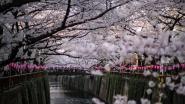 FOTOREEKS: kersenbloesems kleuren Tokio roze