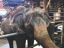 Onhygiënische omstandigheden en vastgeketend aan te korte kettingen: Olifantenleed in Thailand fors gestegen