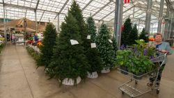Belgische kerstboomsector boomt: 3,2 miljoen bomen geteeld en verkocht