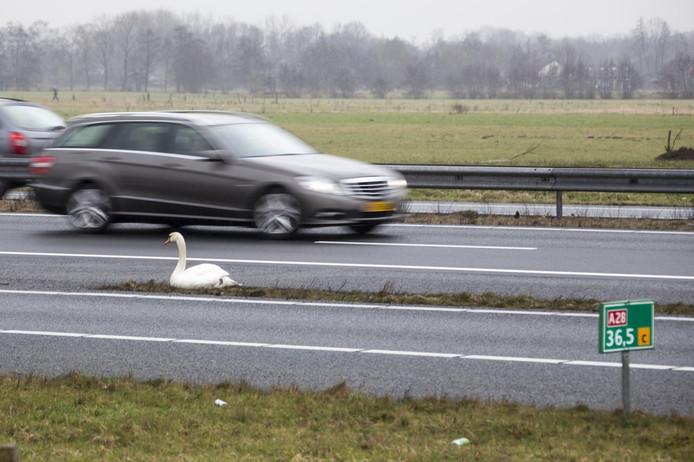 Een zwaan zat op zijn gemak langs de snelweg en trok zich van het passerende verkeer niets aan.