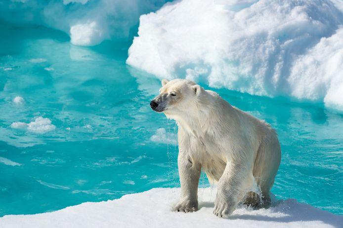 """IJsbeer op de Noordpool, juni 2014. """"Toen dit exemplaar voor mijn lens opdook, kon ik hem wel knuffelen."""""""