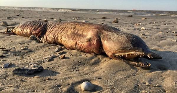 Mysterieuze monstervis met scherpe tanden spoelt aan op Texaans strand
