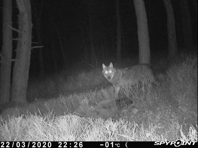 Op 22 maart werd voor het eerst een wolf vastgelegd op de Zuid-Veluwe. Het is mogelijk de wolvin die zich al langere tijd op de Midden-Veluwe ophoudt.