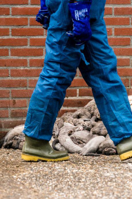 Loslopende nerts in Deurne was besmet met corona