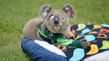 Pinto de koala raakte zwaargewond bij een auto-ongeluk, maar na een lang herstel wordt hij nu eindelijk vrijgelaten in het wild