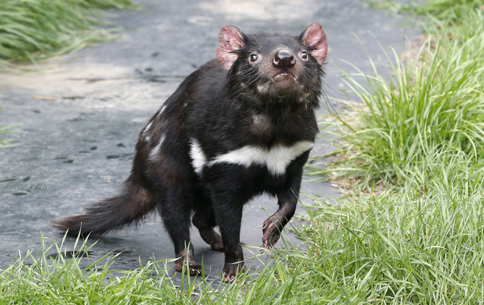 Een Tasmaanse duivel.