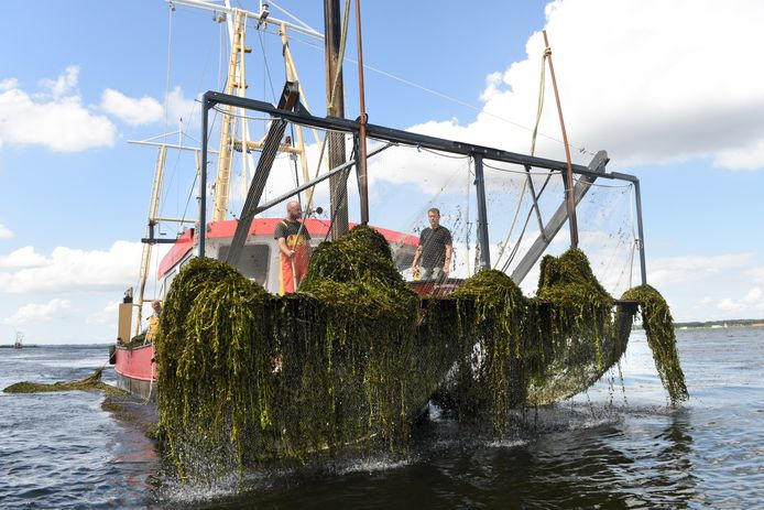 De maaiboten op het randmeer zijn visserskotters die worden uitgerust met maaibalken.