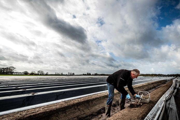 Wie helpt aspergeteler Jan Berkers steekt asperges uit de koude grond. Veel aspergetelers zien hun medewerkers teruggaan naar het land van herkomst.