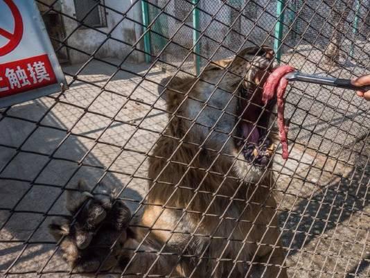 Volgens de Australische site News.com zouden de tijgers worden gepest met eten waar ze nét niet bij kunnen.