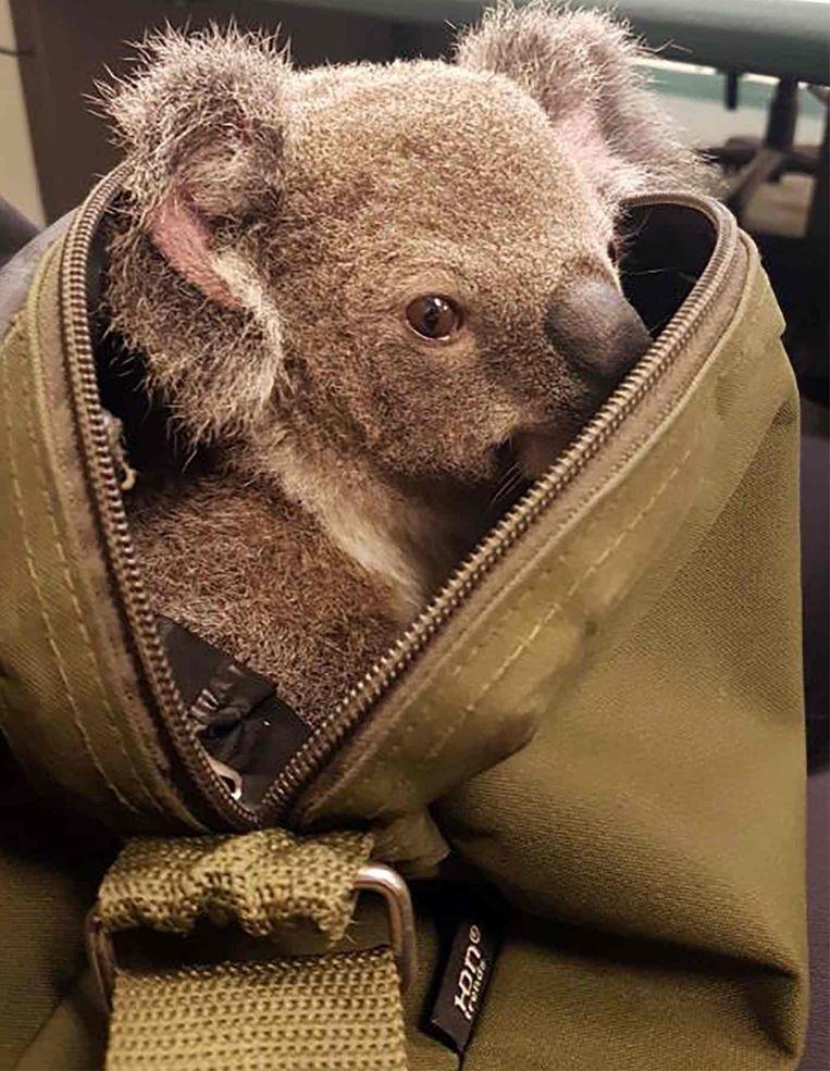 De koala is in Australië een beschermde diersoort. De vrouw beweert dat ze het dier op straat had gevonden.
