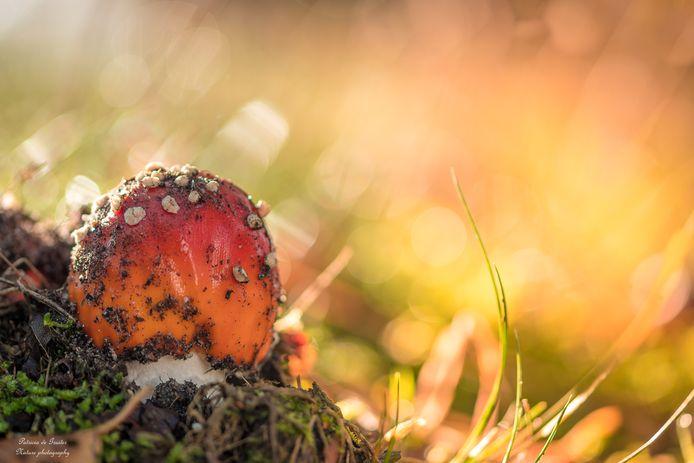 Ontluikende paddenstoel bij de Hatertse en Overasseltse Vennen.