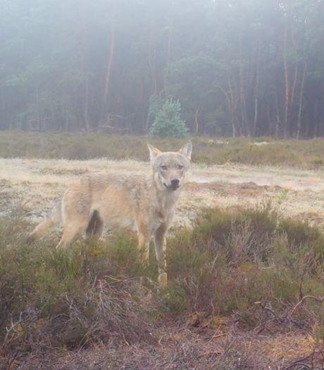 'Nieuwe' wolvin blijkt welpje van roedel op Noord-Veluwe: Gelderland nu echt dé wolvenprovincie van het land