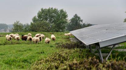 Vroegere stortplaats Verko voortaan beheerd door... schapen