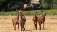 Vijftigtal herten zet Tildonk op stelten