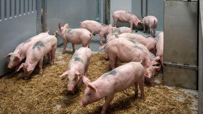 Varkens overleven val in beerput niet