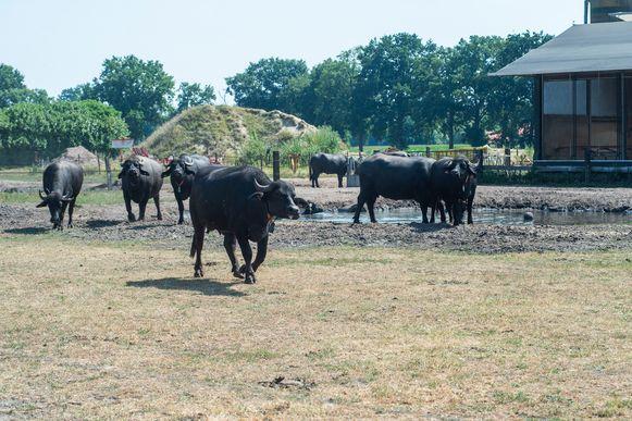 Vanaf de pop-up heb je een mooi zicht op de buffels van de buffelboerderij.