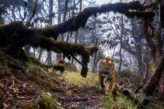 Vergezeld door parkwachter klom fotograaf Emmanuel Rondeau 700 meter om acht camera's op te zetten. Drieëntwintig dagen later keek deze Bengaalse tijger recht in een van zijn camera's.