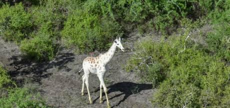 Laatste witte giraffe ter wereld krijgt bescherming tegen stropers