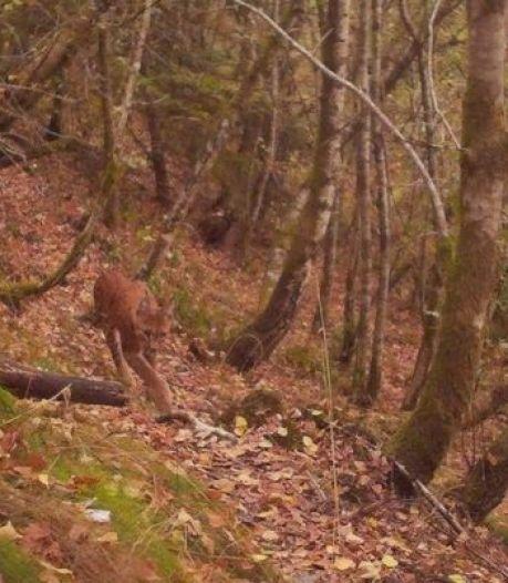 Un lynx observé dans le sud de la Belgique