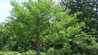 Krijgt Oudenburg één van de 12 unieke vredesbomen uit Hiroshima?
