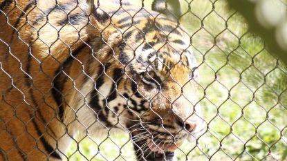 Meer tijgers in Amerikaanse kooien dan in het wild