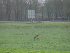 Wolf gespot in Heijen: 'Het is er ontegenzeggelijk een, je ziet het aan de kop'