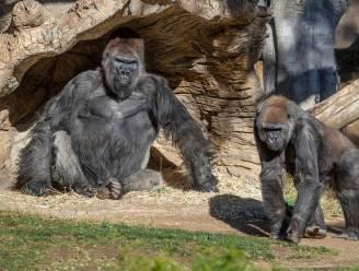 Voor het eerst twee gorilla's besmet met coronavirus