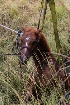 Paard belandt in sloot en breekt been
