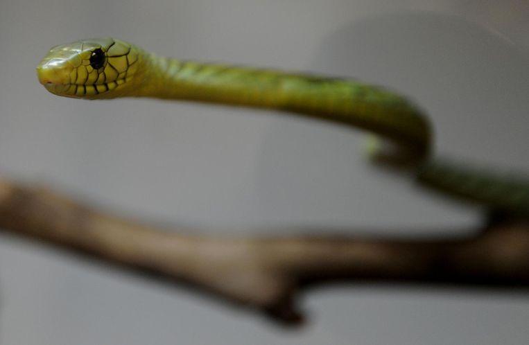 Een giftige groene mamba die in West-Afrika voorkomt.