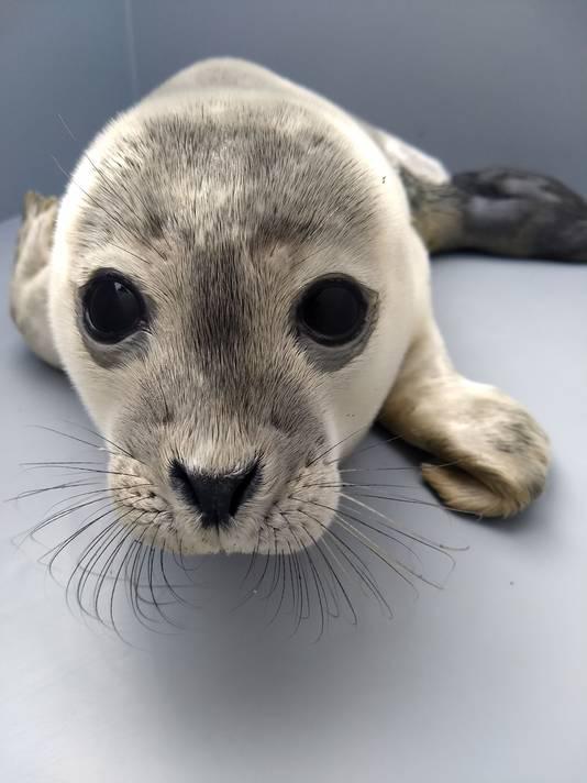 Een zeehondenpup spoelde donderdag aan bij Breskens.