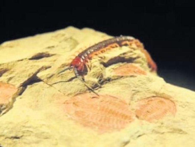 Een duizendpoot kruipt over het fossiel van een verre verwant: een 515 miljoen jaar oude trilobiet. De trilobieten behoorden tot de eerste dierklassen met goed ontwikkelde ogen. Beeld Michael Lee