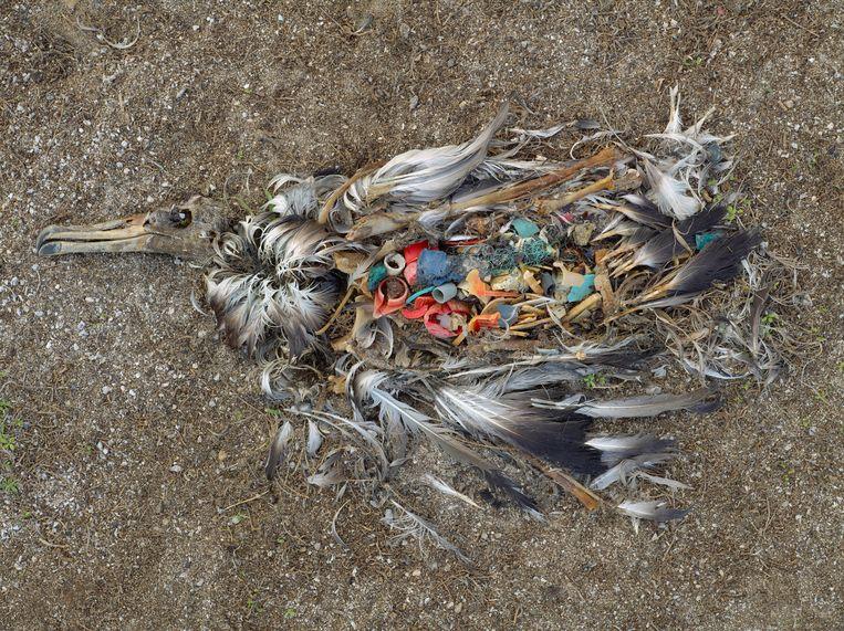 Een albatross die stierf door teveel plastic in zijn maag.
