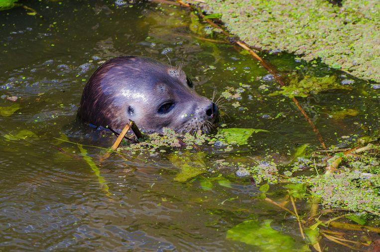 De zeehond werd voor het eerst gezien bij het dorpje De Kwakel.