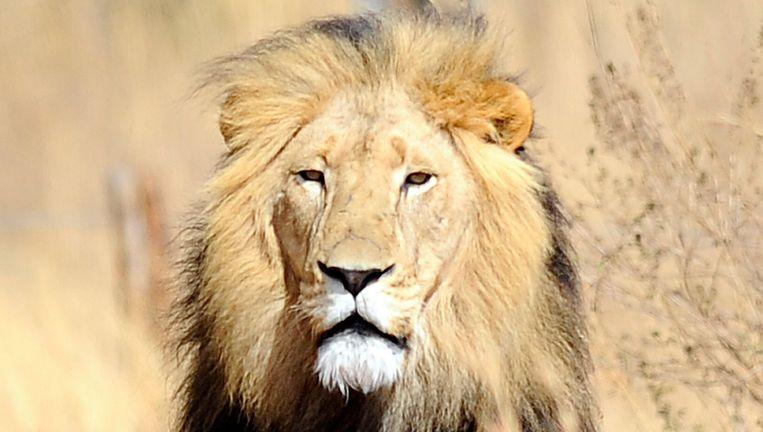 Een leeuw in Zuid-Afrika. Beeld AFP