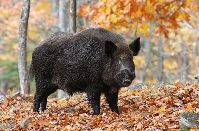 In België is bij twee wilde everzwijnen de Afrikaanse varkenspest vastgesteld.