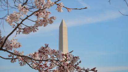 Prachtige beelden: meer dan 3.000 Japanse kersenbomen staan in bloei in Washington