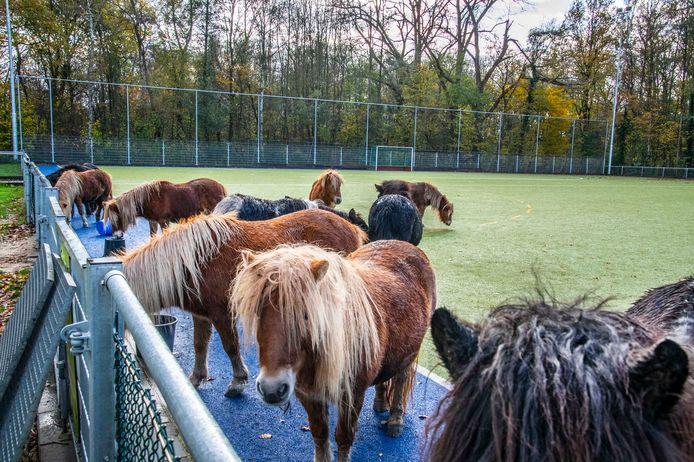 Dertien pony's die vrijdagochtend op een hockeyveld van Were Di werden aangetroffen, blijken daar 's nachts door de politie zelf te zijn neergezet.