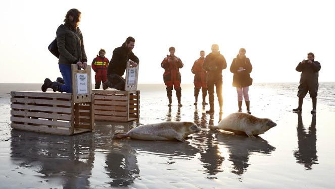 Zeehonden worden opgevangen en weer vrijgelaten.