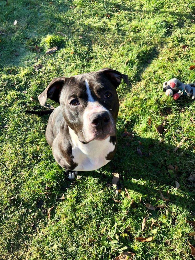 Een flink aangesterkte Billie is klaar voor adoptie nadat ze anderhalve maand geleden zwaar ondervoed in een veld in Nossegem aangetroffen werd.