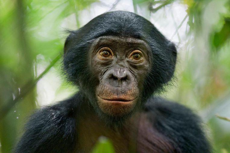Een bonobo-aap. Beeld epa